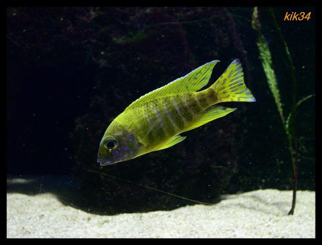 photos et videos de vos poissons du malawi Dscn0035