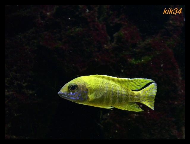 photos et videos de vos poissons du malawi Dscn0210