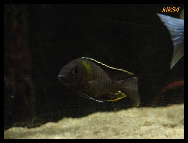 photos et videos de vos poissons du malawi Img_4715