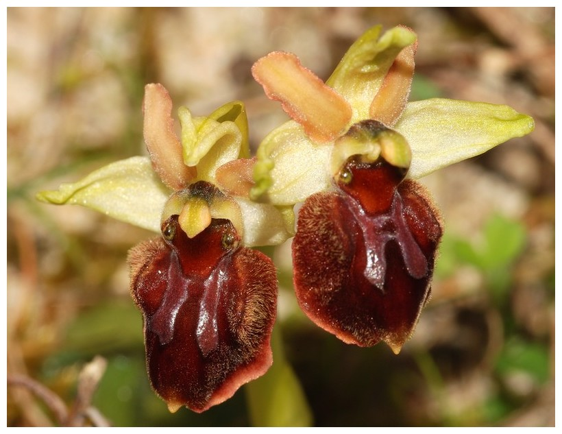 Ophrys suboccidentalis 4_dsc_10