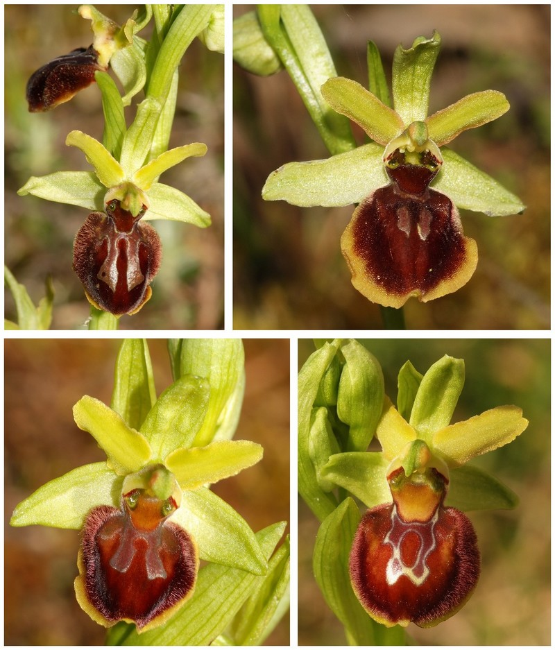 Ophrys suboccidentalis 6b_dsc10