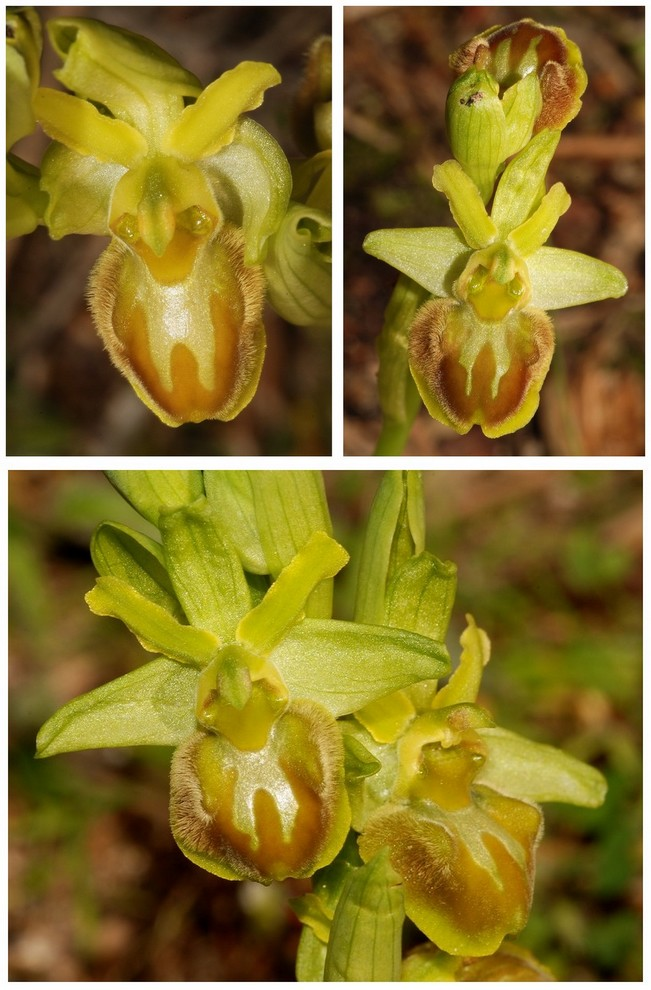 Ophrys suboccidentalis 7b_l2_10
