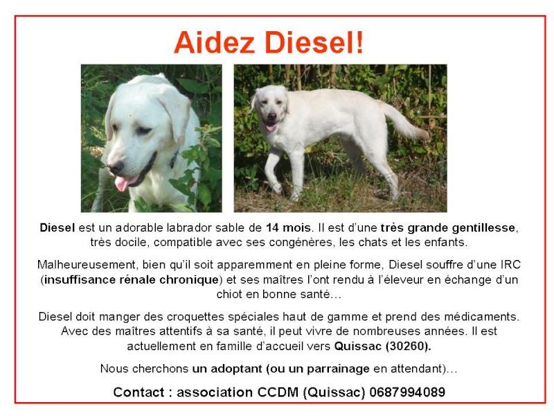 Diesel - labrador sable - IRC - 14 mois - Asso CCDM - Gard (30) [Hérault (34)] Affich10