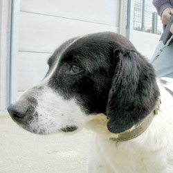 Syrano, chien épiléptique, 8ans, cherche une famille (44) Cyrano10