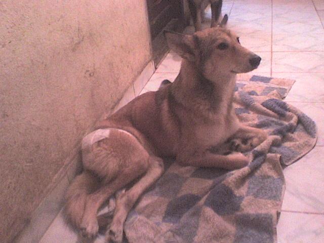 Foxie handicapée, un chasseur lui a tiré dessus. Roumanie Dsc00110