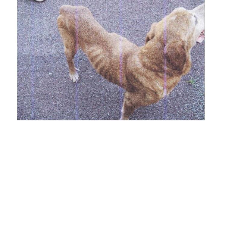 flyod labrador croisé mâle 7 ans (39) - ADOPTE - Flyod110