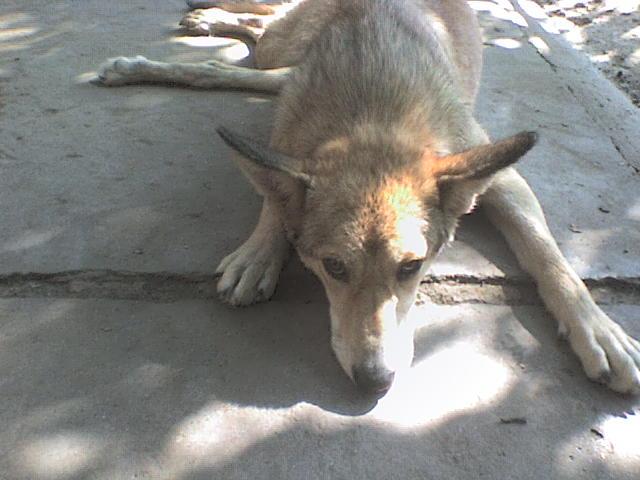 Foxie handicapée, un chasseur lui a tiré dessus. Roumanie Foxy_410
