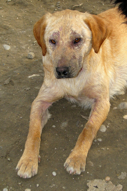 Zlatko, 2 ans, gros soucis de peau, en Serbie (refuge Bella) Img46710
