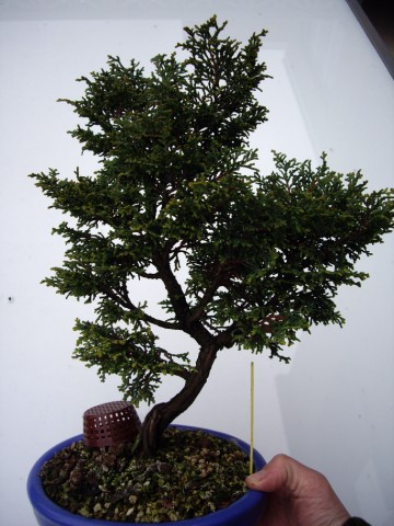 chamaecyparis obtusa Imgp0817