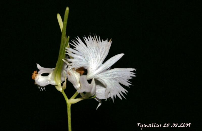 Neofinetia Falcata & Habenaria Radiata Pict0120
