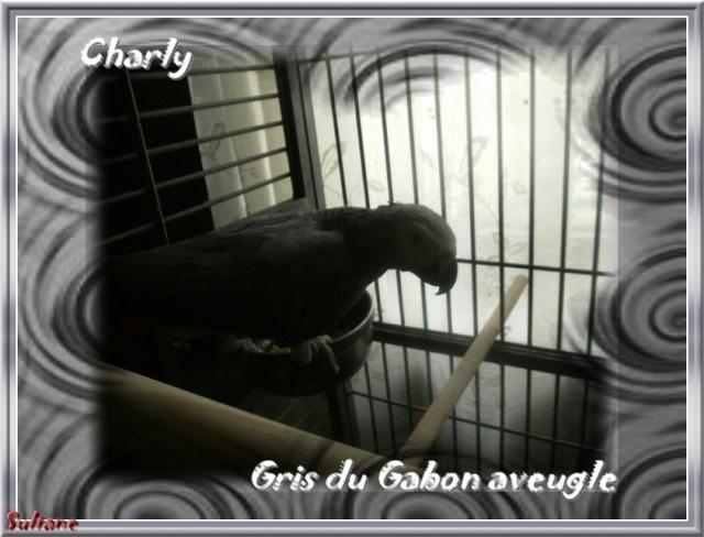 Charly, gris du Gabon aveugle Charly10