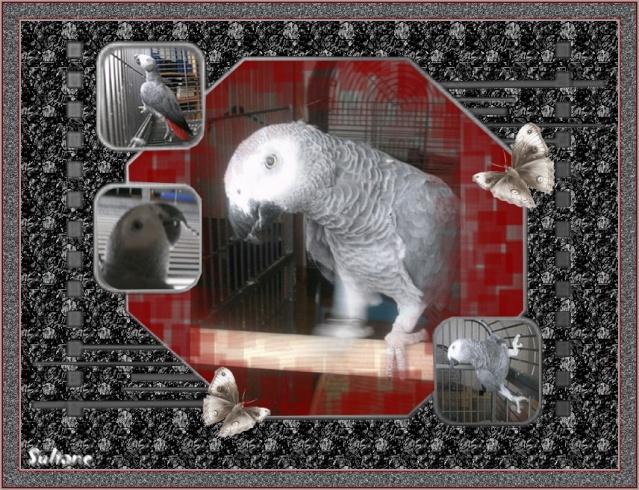 Charly, gris du Gabon aveugle Charly11