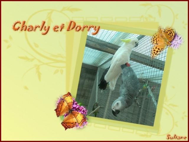 Charly, gris du Gabon aveugle Charly12