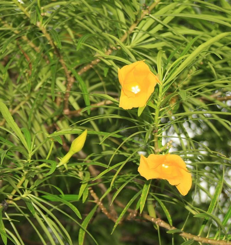 Fleur de nouvelle Calédonie Fleur10