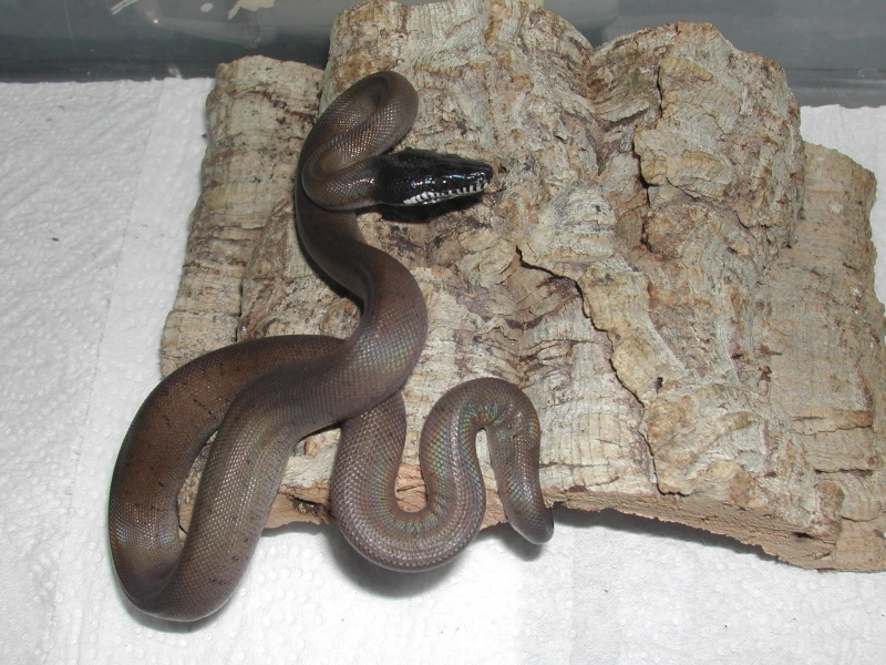 Leiopython albertisii 00411