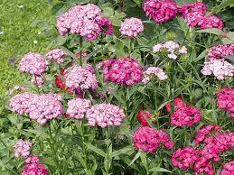 Fleurs du moment Oeille10