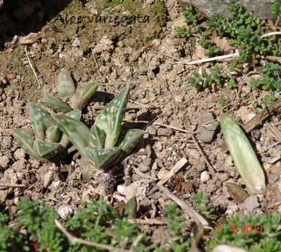 rusticité des cactus et succulentes en extérieur - listes - Page 2 Dsc02015