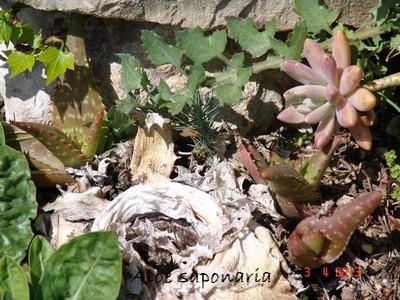 rusticité des cactus et succulentes en extérieur - listes - Page 2 Dsc02016