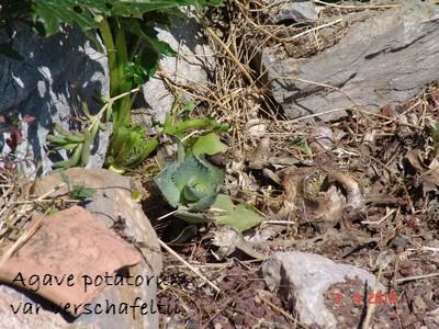 rusticité des cactus et succulentes en extérieur - listes - Page 2 Dsc02017