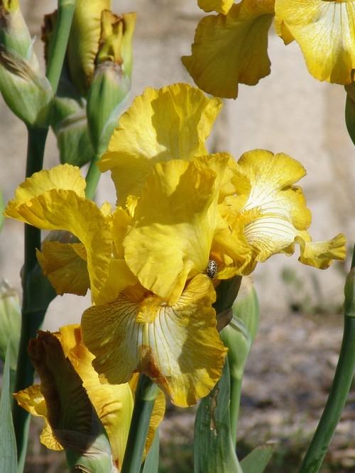Floraisons de nos Iris barbus 2013 Dsc02113