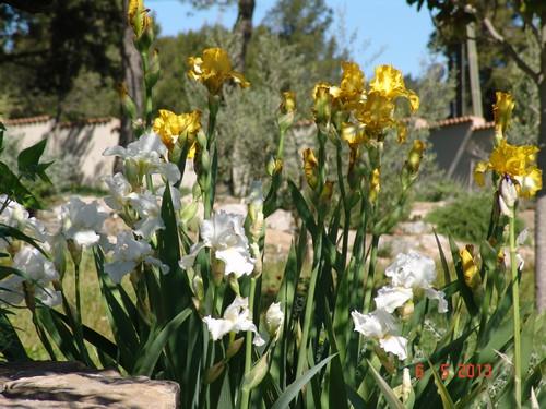 Floraisons de nos Iris barbus 2013 Dsc02218