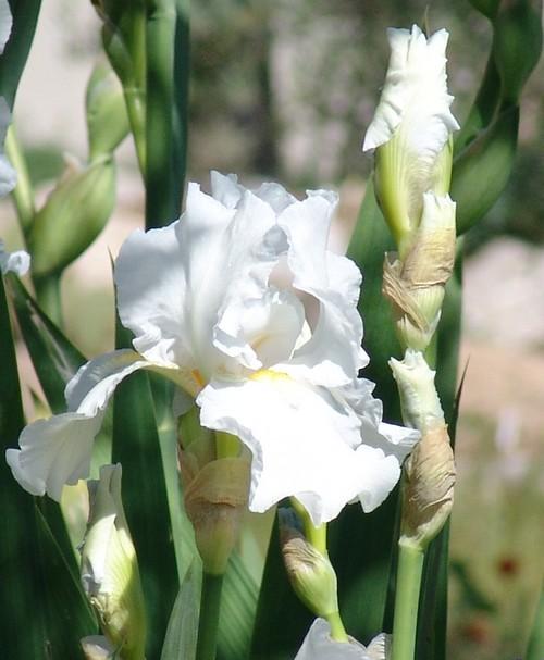 Floraisons de nos Iris barbus 2013 Dsc02219