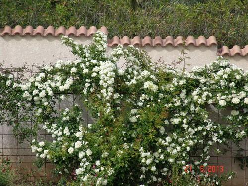 *rosa* - rosier 'Purezza' = Rosa banksiae 'Purezza' Dsc02410