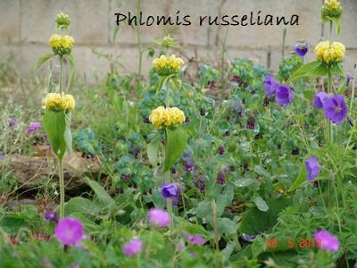 Phlomis russeliana - phlomis de Russel Dsc02415