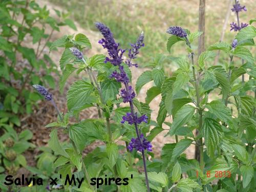 Salvia 'My Spires' Dsc02419