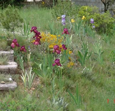 Floraisons de nos Iris barbus 2013 Dsc0_210