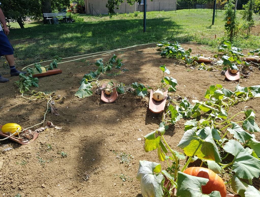 Les dernières récoltes au jardin 20190914