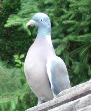 Le coin de nos 30 millions d'amis Pigeon11