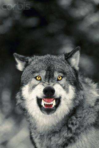 Diffrent sides,The Black and White wolf Proud_11