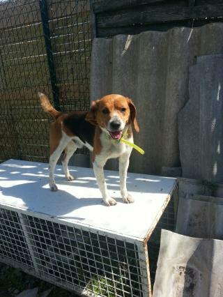 Angelo, beagle de 8 ans, dans le 31 Angelo10