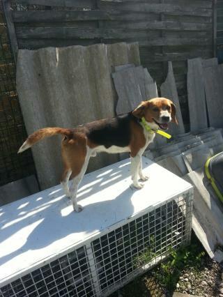 Angelo, beagle de 8 ans, dans le 31 Angelo12