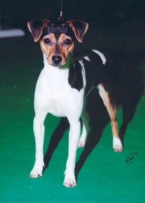 Présention du terrier brésilien Image910