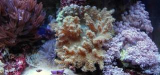 Le bac des Maniacodesrécifs (méthode Reefcorner) - Page 3 Dsc_0113