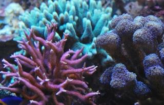Le bac des Maniacodesrécifs (méthode Reefcorner) - Page 5 Dsc_0610