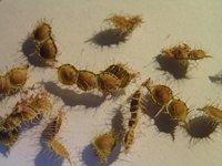 [Fiche] Mimosa Pudica (plante sensitive) M_grai10