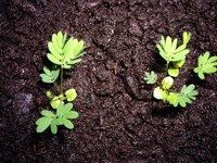 [Fiche] Mimosa Pudica (plante sensitive) M_semi11