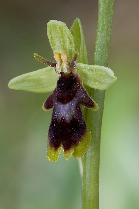 Ophrys subinsectifera Subins11