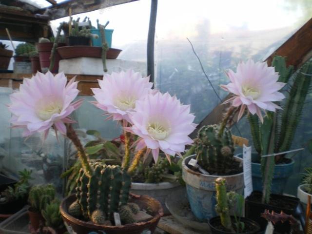 Cactus en fleurs Fleurs12