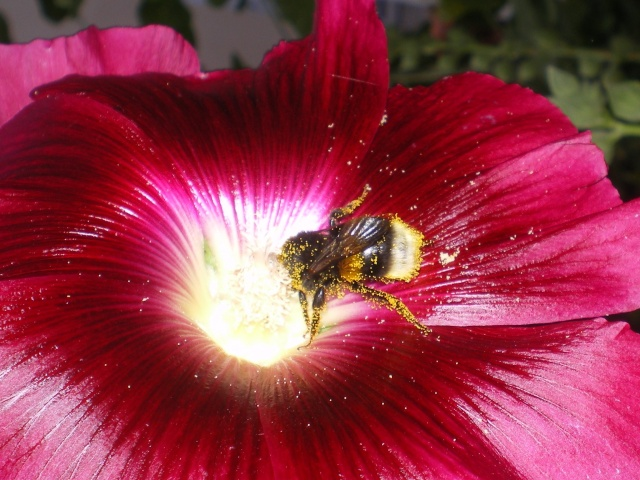 rose tremiere Imgp9610