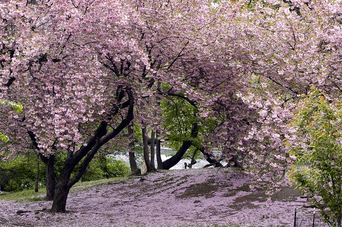 Jardins japonais Cerisi10