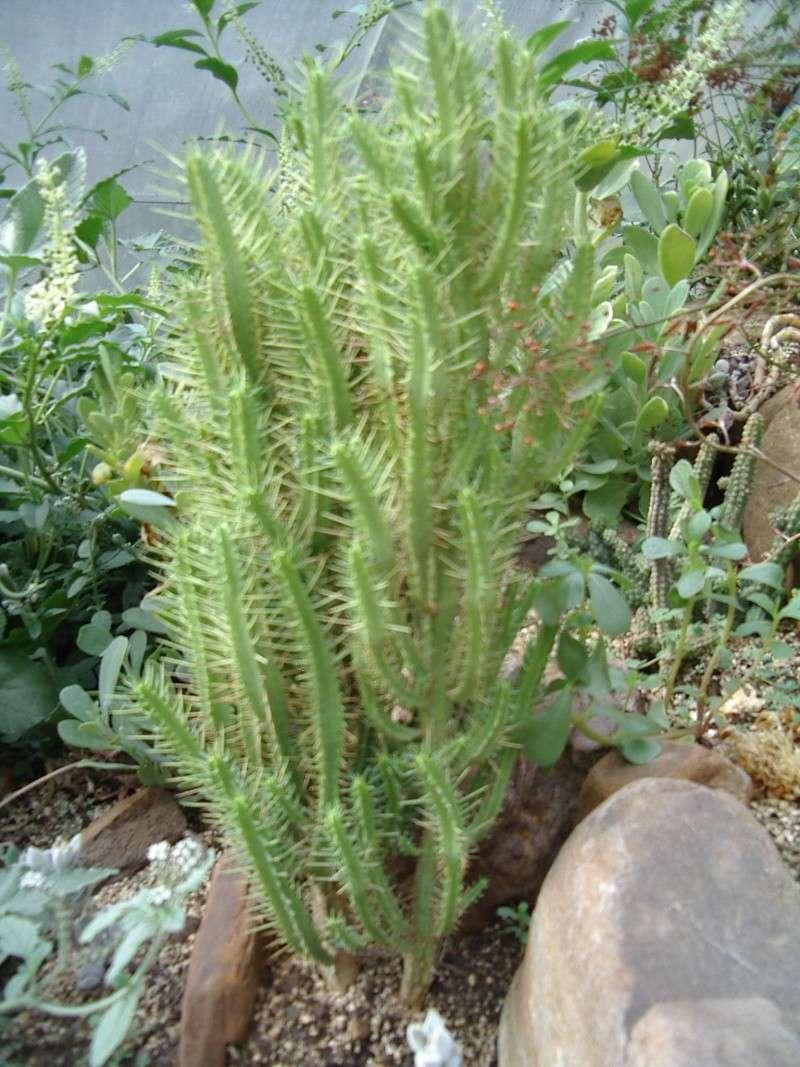 cactées et succulentes à identifier Lion_015