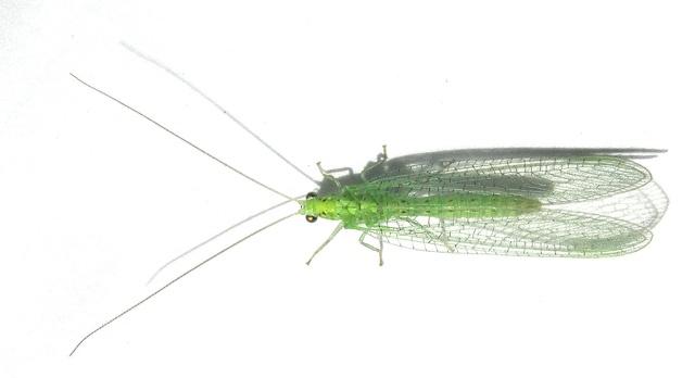 [Chrysopidae sp.] Délicate dentelle verte Dscn9213