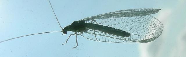 [Chrysopidae sp.] Délicate dentelle verte Dscn9214