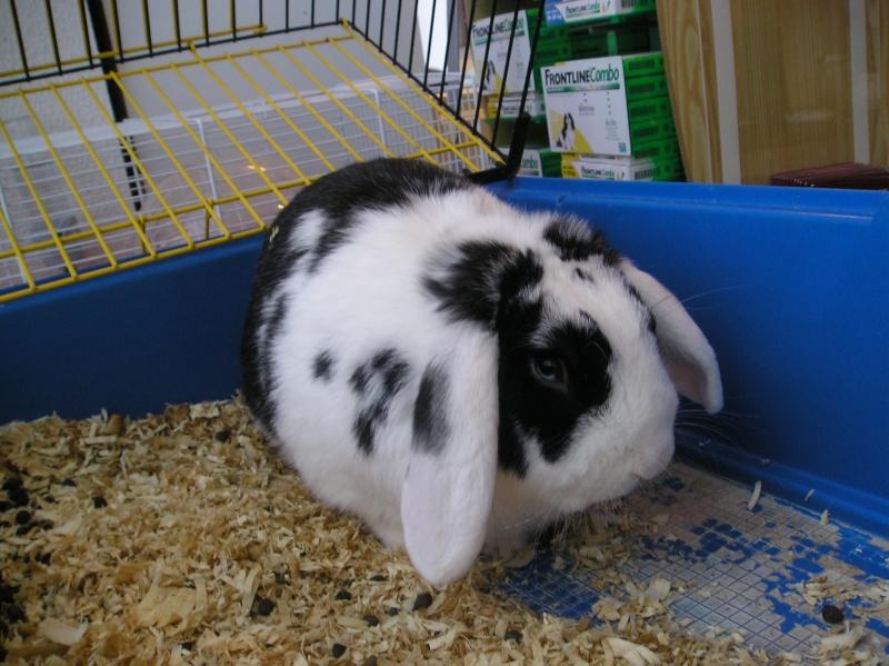 trouvé lapin à cornebarrieu P1010016