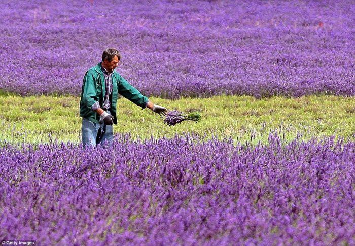 Beautiful Lavender Fields 21a9v910
