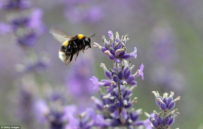 Beautiful Lavender Fields 25so0110